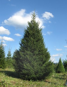Christmas Tree at Valley Star Farm Luray VA